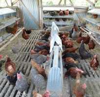 Выращивание кур несушек в домашних
