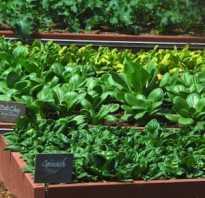 Выращивание зелени укропа и лука как бизнес